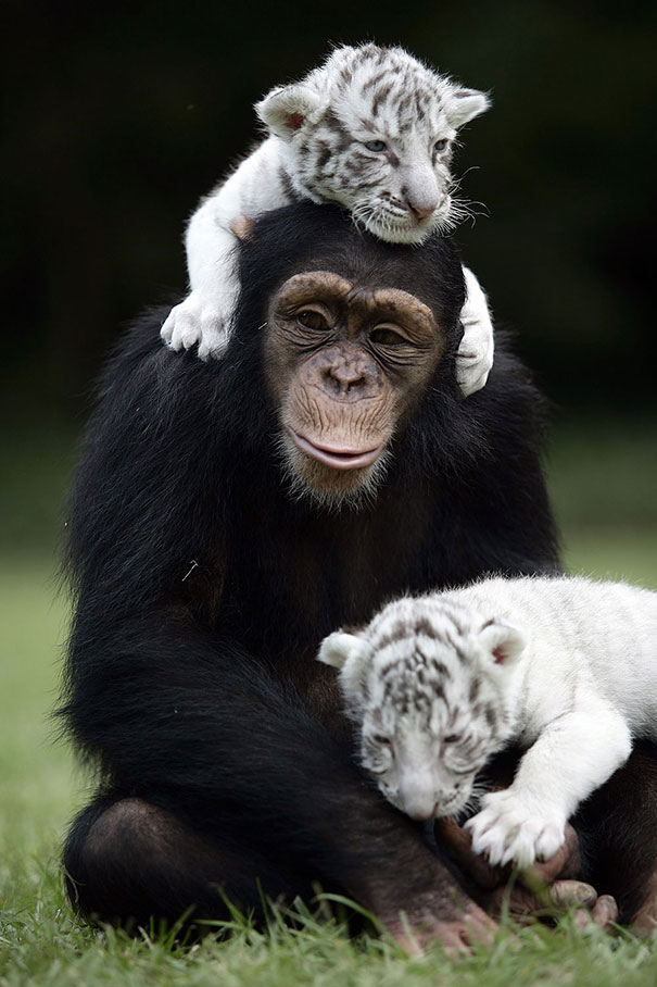 Happiness Chimp and tigers